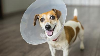 dog, dog cone