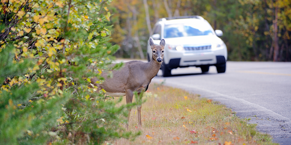 Facts + Statistics: Deer vehicle collisions | III